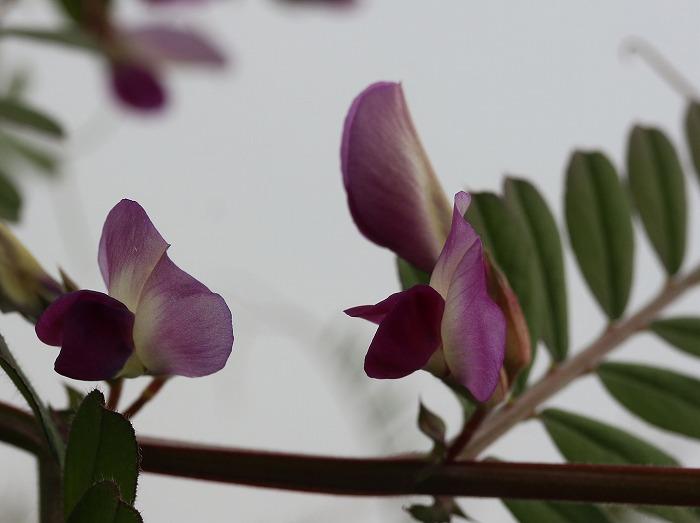カラスノエンドウ 花と花 29.3.23
