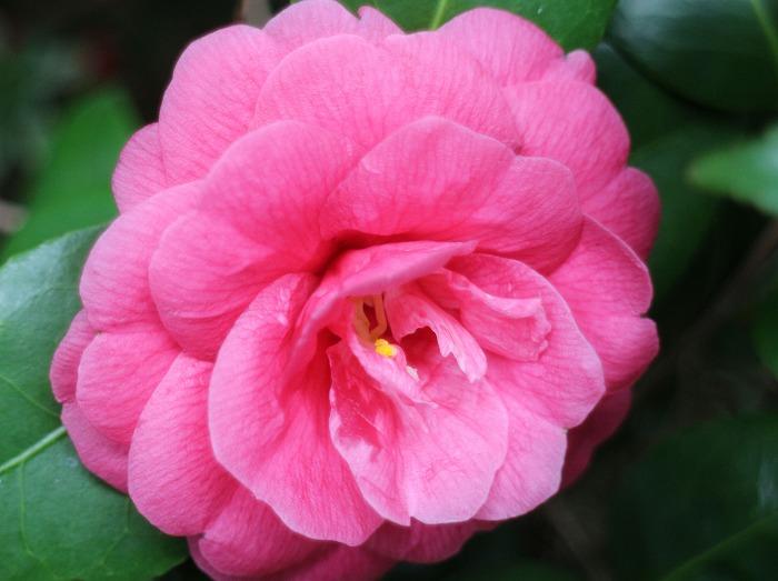 桃色椿 於 白川庭 29.3.28