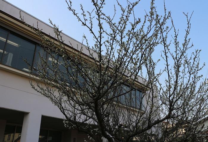 スモモの木 29.3.30