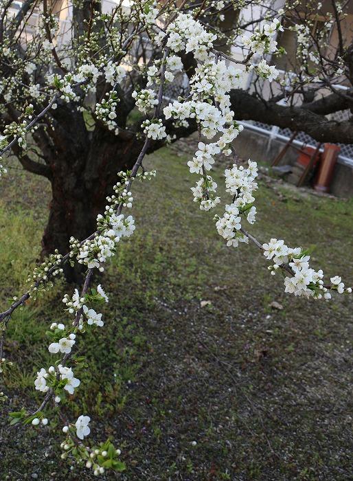 スモモの花 29.3.30