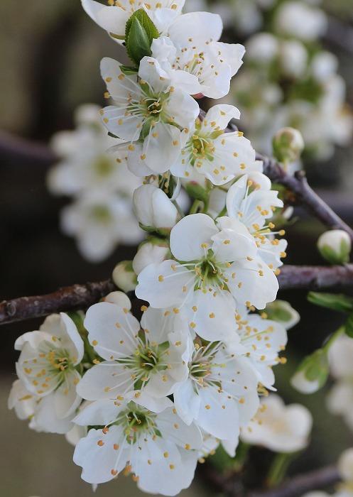 スモモの花に近付いて 29.3.30