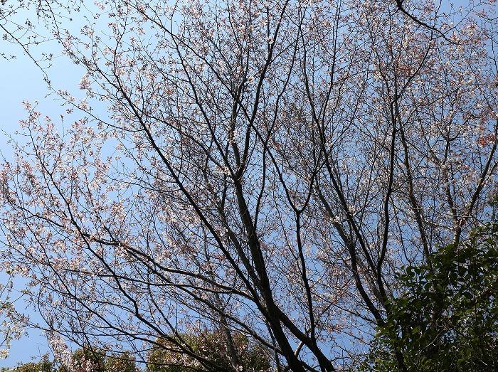 爺神山の山桜 29.4.2