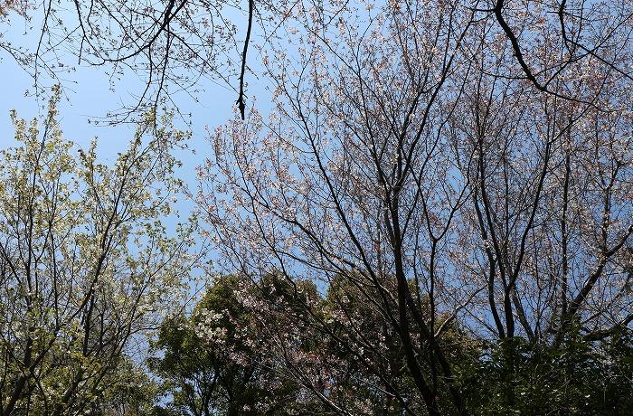 爺神山の大島桜と山桜 29.4.2