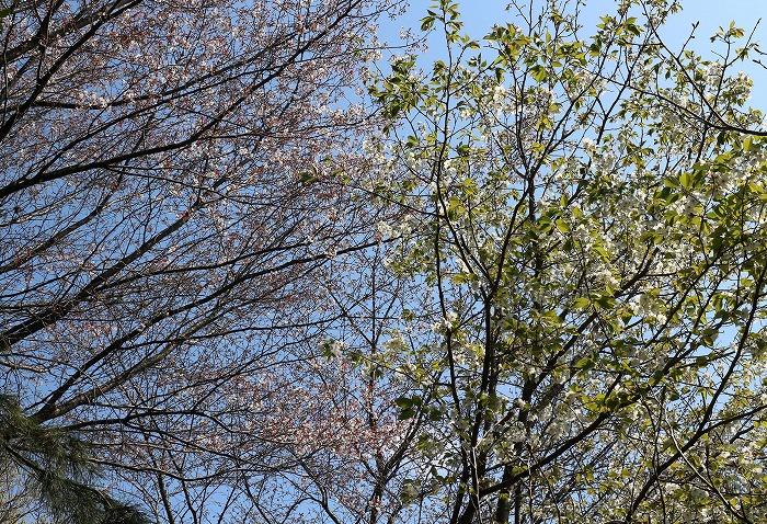 山桜と大島桜のトンネル 29.4.2
