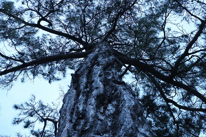 松の木  29.2.26