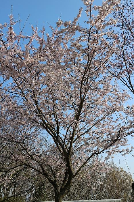 満開の江戸彼岸桜爺神山 29.4.1