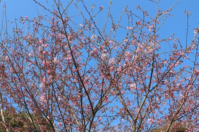 咲き始めている江戸彼岸も 29.4.1