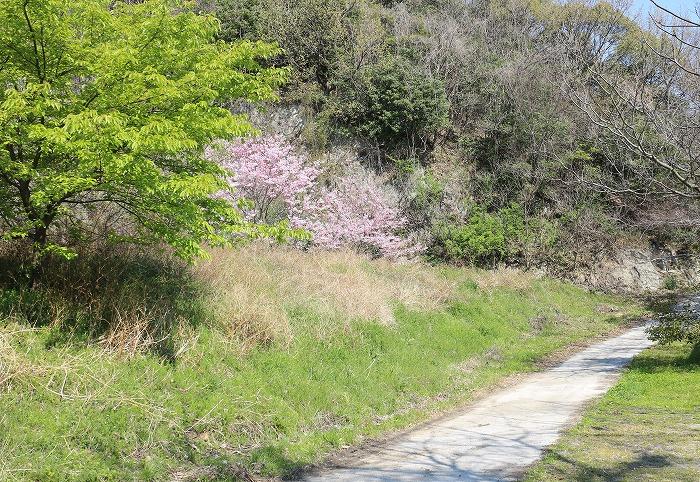 桜咲いて 葉桜も眩しい 29.4.3