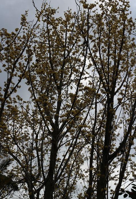 山茱萸の樹 白川さんちの庭 229.3.28