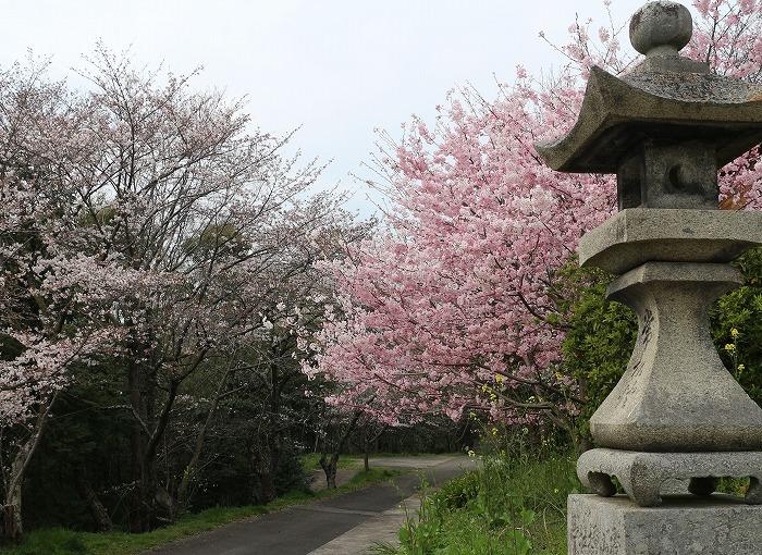 大師堂の桜 お花見 29.4.5