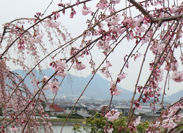 宗吉瓦窯跡史跡公園しだれ桜 29.4.5