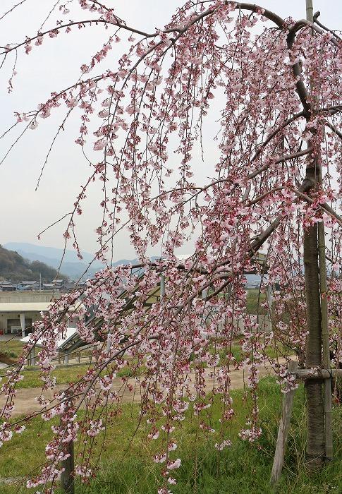 宗吉しだれ桜とかわらの展示館 29.4.5