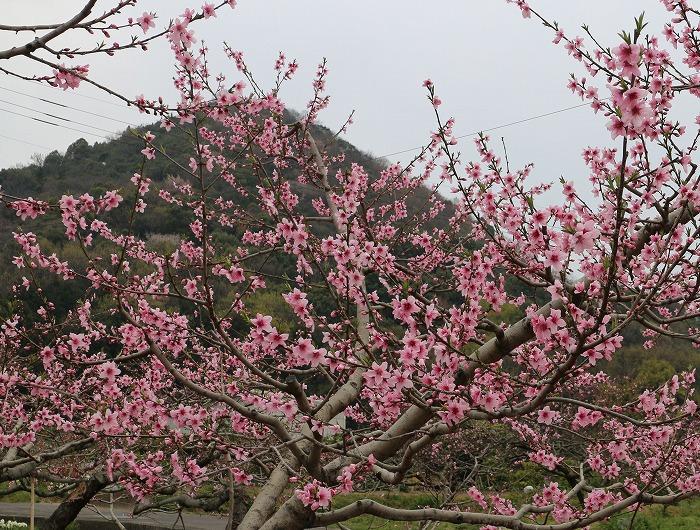 とんぎり山と桃の花 29.4.5
