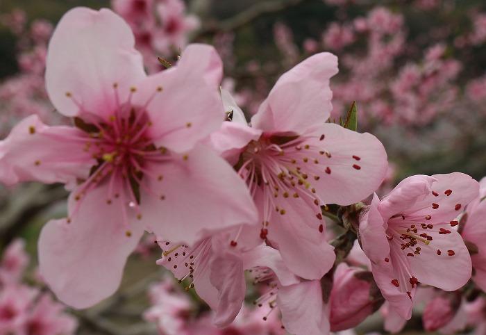 桃の花アップ 29.4.5