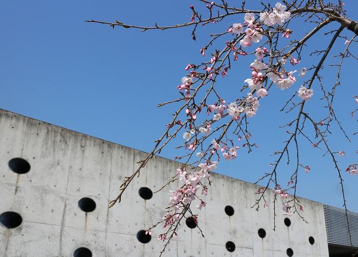 瓦の里展示館前の桜 29.4.4