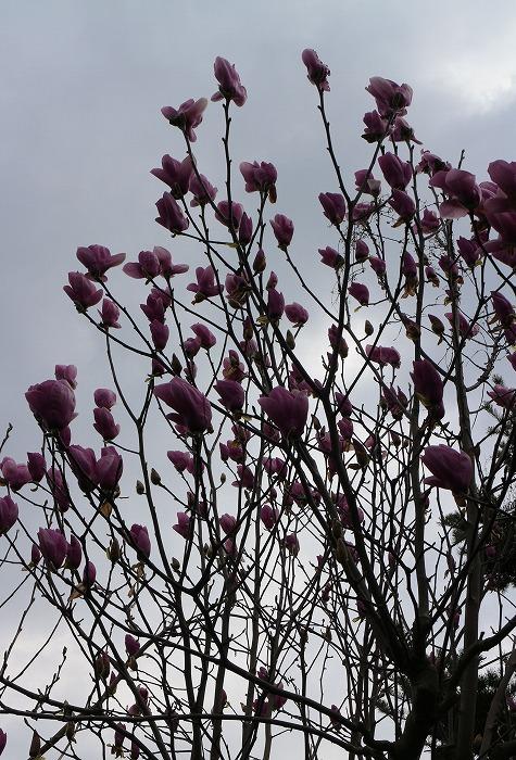 紫木蓮 白川庭 29.3.28