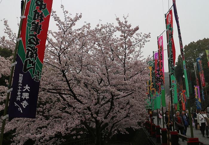 金毘羅さん 桜満開 横 29.4.8