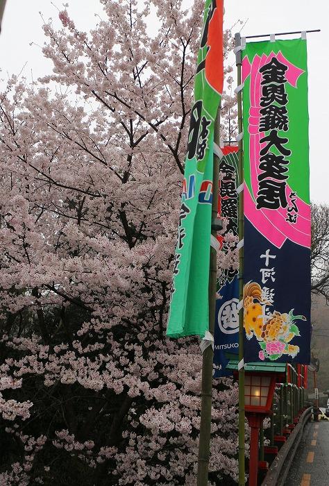 金毘羅さん 桜満開 縦2 29.4.8