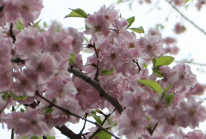 爺神山にきれいな桜が咲いていました  29.4.10