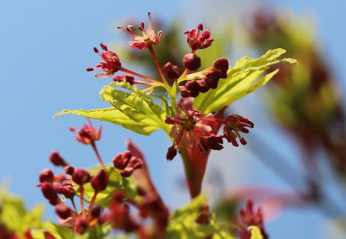 楓の花と新芽 29.4.8