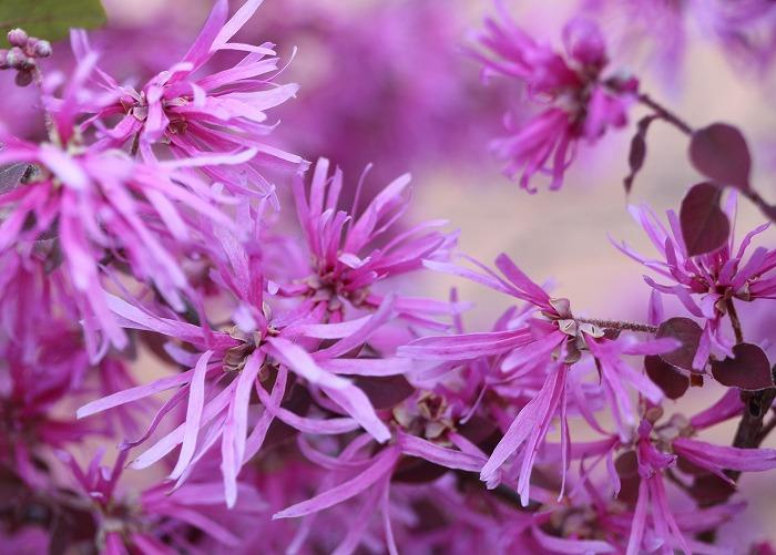 ベニバナトキワマンサク紫色 H29 415