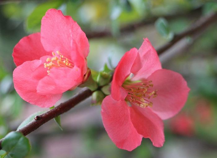 庭のボケの花 29.4.16