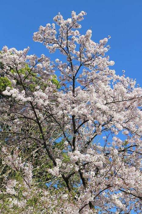 爺神山大師堂前の桜 29 4 16