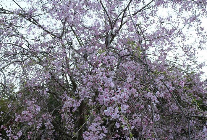 爺神山帰りの道でしだれ桜 29 4 16