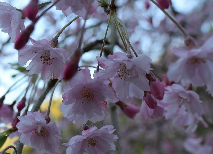 しだれ桜花だけ 29.4.16