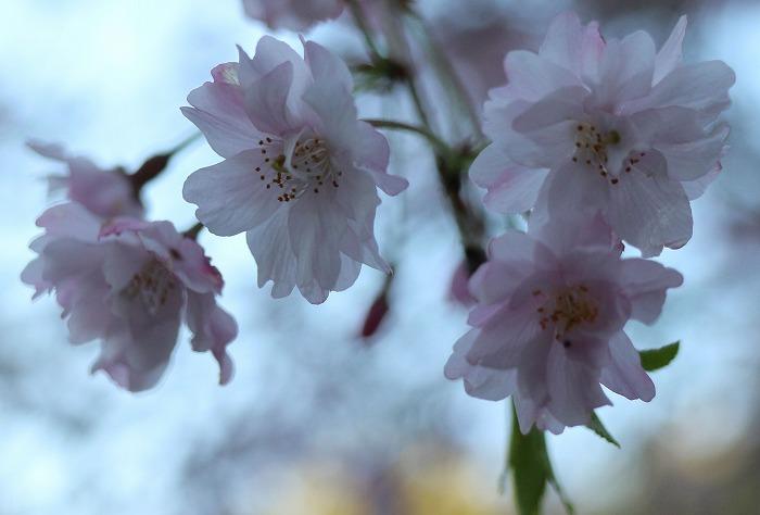 しだれ桜花だけ大きく29.4.13