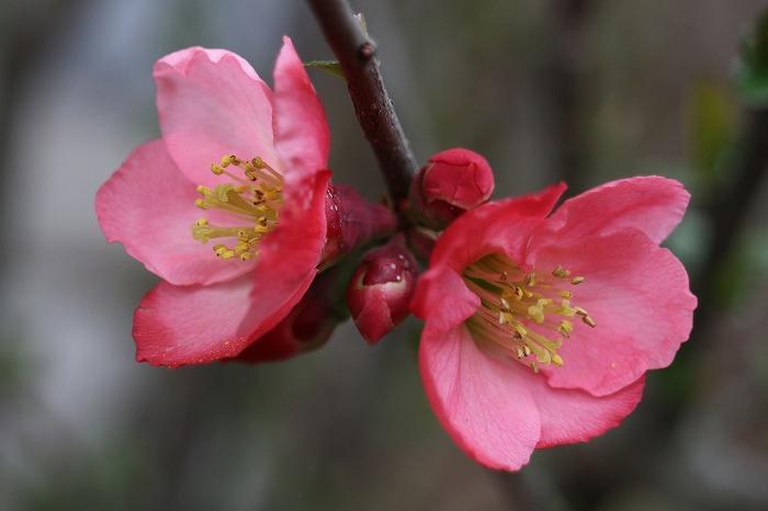 庭の端っこの木瓜の花 29.3.24