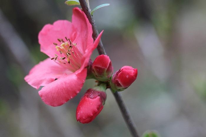 前の庭に木瓜の花 29.3.24