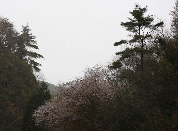 今が満開徳島山桜 29.4.17
