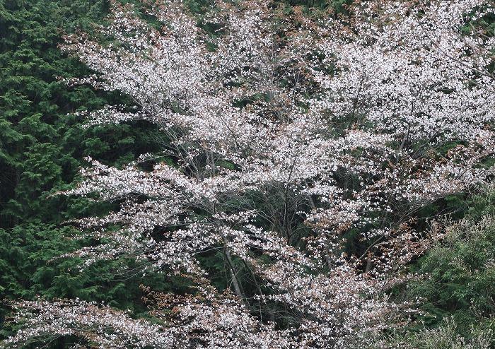 徳島山の中山桜 29.4.17