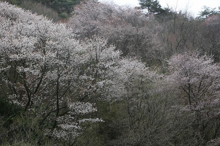 徳島山一杯に山桜 29.4.17