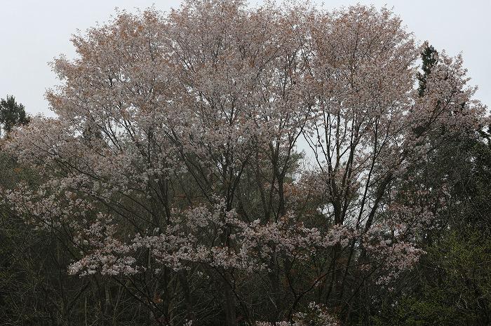 大きな山桜の樹 徳島山の中 29.4.17