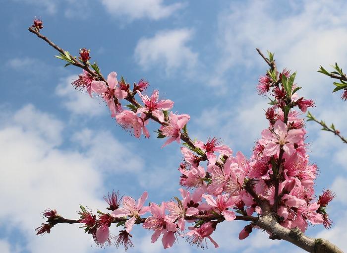 桃の花 大見 29.4.12