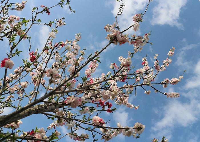 青空に花桃 29.4.12