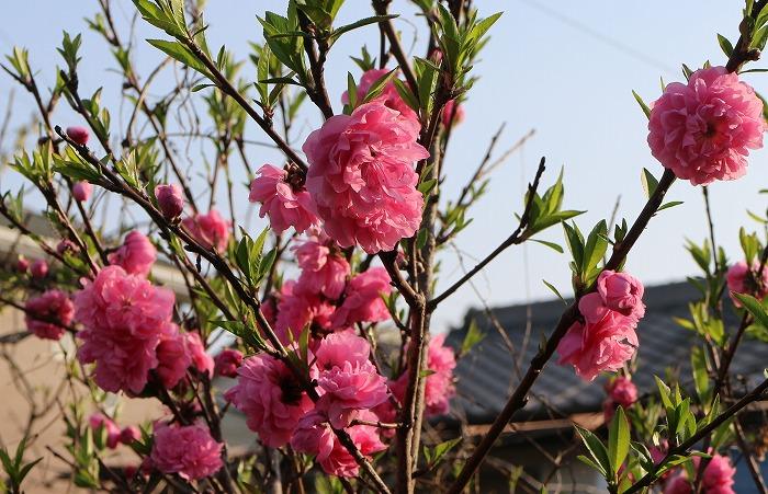 庭の桃の花 29.4.12