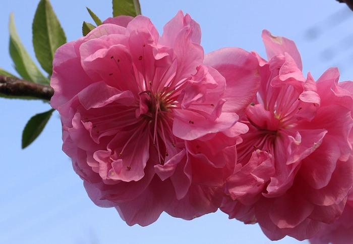 花桃の花並んで 庭 29.4.12