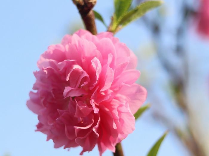 花桃の花1個 29 4 12