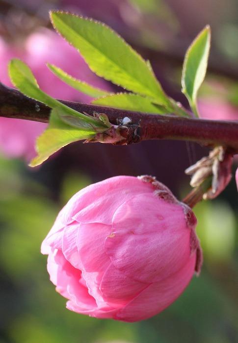 花桃のつぼみ 29 4 12