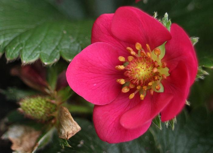 赤い苺の花 29.4.19