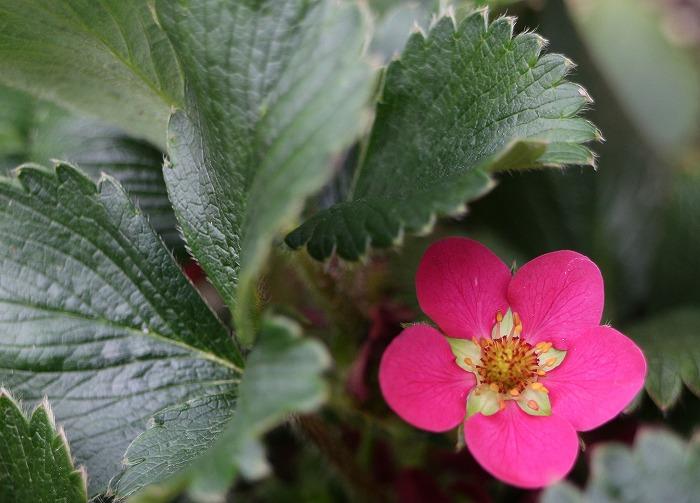 赤い苺の花一個 29.4.19