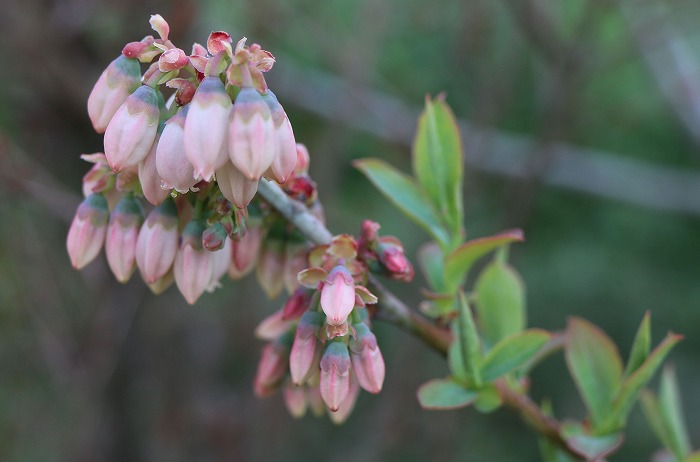 ブルーベリーの花 29.4.21