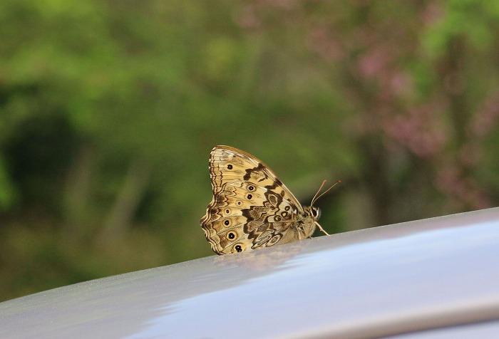 車に日蔭蝶 29.4.21