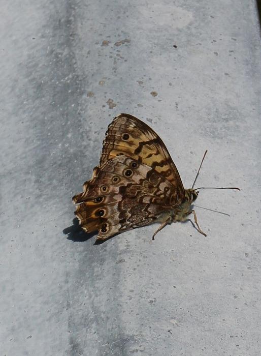 がーそレールに日蔭蝶 29.4.21