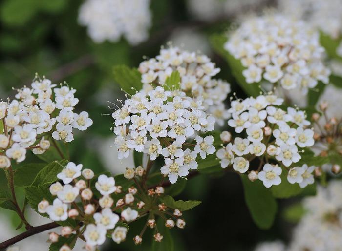 イワガサの花 29.4.26
