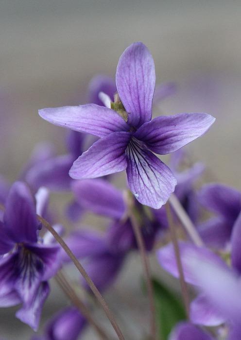 庭の砂利の中にスミレの花 29.3.2