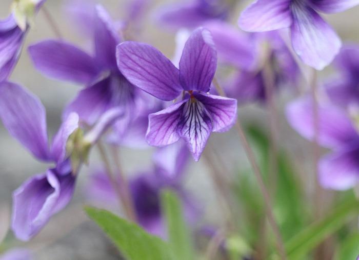 庭にスミレの花 横 29.3.28